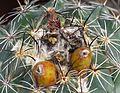 Coryphantha palmeri 33.JPG