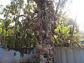 Couroupita guianensis.jpg