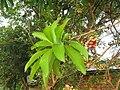 Couroupita guianensis - Cannon Ball Tree at Peravoor (38).jpg