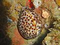 Cowrie at Paindane coral garden dsc04639.jpg