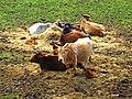 Cows - panoramio (11).jpg