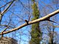 Crataegus monogyna bud spine.jpg