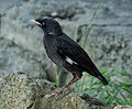 Crested myna (fledgling), Osaka, Japan.jpg