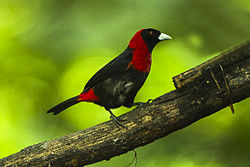 Crimson-collared Tanager - Sarapiqui - Costa Rica S4E0431 (26074094873).jpg