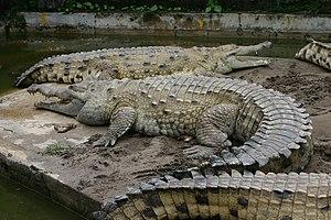 Orinoco crocodile - Image: Croc inter