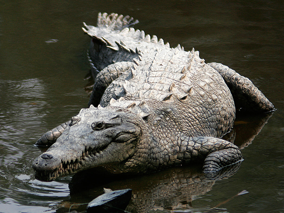 American Crocodile Wikipedia - Meet worlds largest crocodile caught philippines