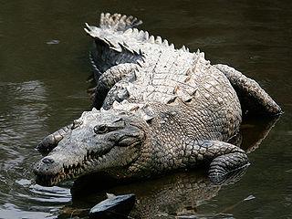 American crocodile Species of reptile