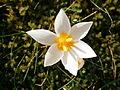 Crocus sieberi Bowles White flower close-up.JPG