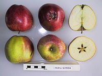 Cross section of Colwall Quoining, National Fruit Collection (acc. 1949-023).jpg