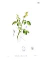 Crotalaria incana Blanco1.160.png
