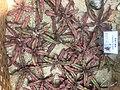 Cryptanthus bivittatus.jpg