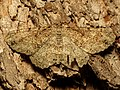 Cryptic Moth (35604755710).jpg