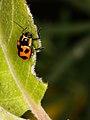 Cryptocephalus quinquepunctatus (7576512060).jpg