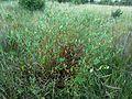 Cryptolepis oblongifolia, habitus, Krantzkloof NR.jpg