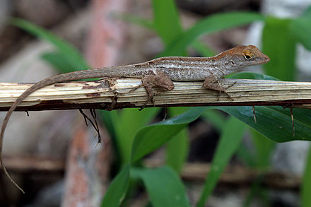 brown anole lizard habitat