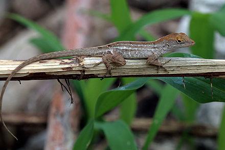 brown anole lizard habitat
