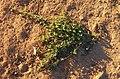 Cucumis myriocarpus habit.jpg