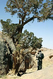 Cyprus saharský