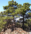 Cupressus sargentii, Hood Mountain, Sonoma Co.jpg