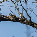 Cyanistes caeruleus in Aveyron (12).jpg