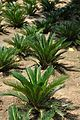 Cycas revoluta - Alipore Zoological Garden - Kolkata 2011-05-03 2454.JPG