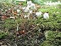 Cyclamen hederifolium album001.jpg
