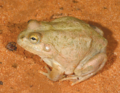 Cyclorana platycephala (eastern), female, lateral view.png