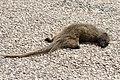 Cynictis penicillata - Yellow mongoose 2021-03-27 02.jpg