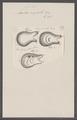 Cynthia ampulla - - Print - Iconographia Zoologica - Special Collections University of Amsterdam - UBAINV0274 092 01 0036.tif