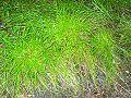 Cyperus gracilis Eastwood.jpg