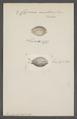Cypraea nucleus - - Print - Iconographia Zoologica - Special Collections University of Amsterdam - UBAINV0274 088 02 0070.tif