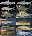 Cyprinidae (10.3897-zse.96.55837) Figure 2.jpg
