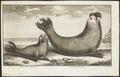 Cystophora cristata - 1748 - Print - Iconographia Zoologica - Special Collections University of Amsterdam - UBA01 IZ21100145.tif