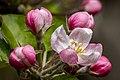 Dülmen, Hausdülmen, Blüten eines Apfelbaums -- 2021 -- 7654.jpg