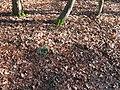 Daffodil shoots in Cripps Wood - geograph.org.uk - 1152048.jpg