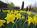 Daffodils at Regent's Park in March 2012 2.JPG