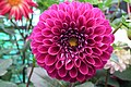 Dahlia at Lalbagh flowershow aug2011 7039.JPG