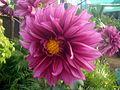 Dahlia flower 3.JPG