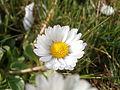 Daisy Flowers April 2014 (18).JPG