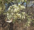 Dalbergia melanoxylon00.jpg