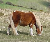 Dartmoor pony 2.jpg