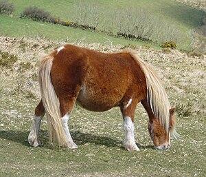 Dartmoor pony - Dartmoor Hill pony on Dartmoor