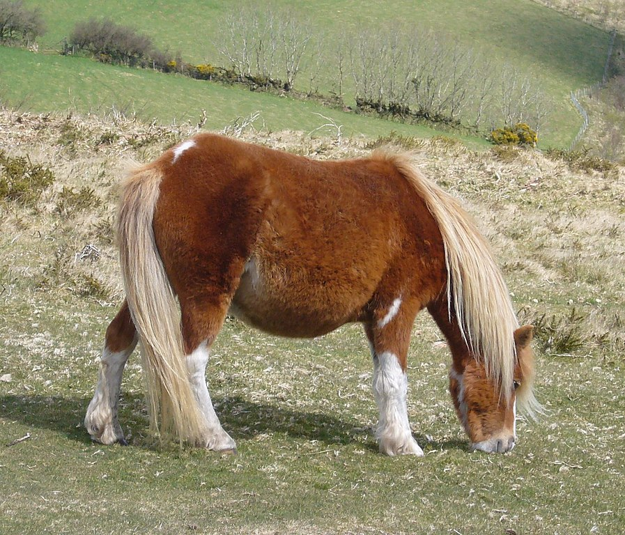 Pony size tom thumb thumb