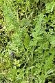 Daucus carota (carotte sauvage).jpg