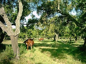 Dehesa - A dehesa in Bollullos Par del Condado, Huelva, southern Spain