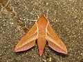 Deilephila elpenor (14291849846).jpg