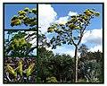 Delonix floribunda.jpg