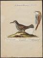 Dendrocolaptes picus - 1700-1880 - Print - Iconographia Zoologica - Special Collections University of Amsterdam - UBA01 IZ19200233.tif