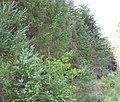 Dense pine trees at Ffridd Lwyd Forest - geograph.org.uk - 534751.jpg