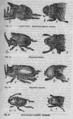 Descent of Man - Burt 1874 - Fig 17.png
